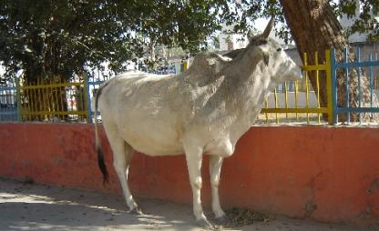 A Stray Cow at Friends Colony, Hisar on Dec 24, 07